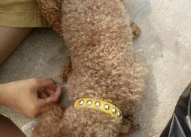 寻狗启示,青岛崂山区西韩村寻找泰迪公狗棕熊,它是一只非常可爱的宠物狗狗,希望它早日回家,不要变成流浪狗。