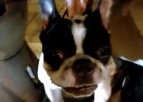 寻狗启示,福州江厝路附近捡到成年法斗,它是一只非常可爱的宠物狗狗,希望它早日回家,不要变成流浪狗。