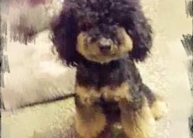 寻狗启示,养了四五年的泰迪,感情深厚,它是一只非常可爱的宠物狗狗,希望它早日回家,不要变成流浪狗。