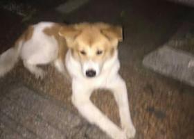 黄白中型犬,海口龙琨南海南是大学附近17年12月4捡到。