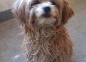 寻狗启示,已被领养,它是一只非常可爱的宠物狗狗,希望它早日回家,不要变成流浪狗。