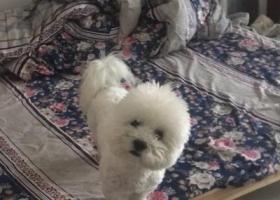 寻狗启示,义乌市后宅街道下畈村群英二区寻找比熊,它是一只非常可爱的宠物狗狗,希望它早日回家,不要变成流浪狗。