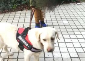 寻狗启示,寻狗:拉布拉多(白色偏黄 五个多月) 叫多多  12.4 下午四点多于宜昌市夷陵区小溪塔城标走丢,它是一只非常可爱的宠物狗狗,希望它早日回家,不要变成流浪狗。