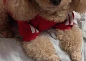 寻找爱犬,泰迪妹妹名叫甜甜!走丢时身穿红色衣服,唤牠就会来,爱亲近人,但防备心很高遇到危险或者被吓到就会不知所措!胆子特别小,走丢啦心都碎了