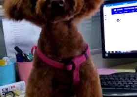 寻狗启示,12月2下午楚州丢了一直棕色泰迪狗,它是一只非常可爱的宠物狗狗,希望它早日回家,不要变成流浪狗。