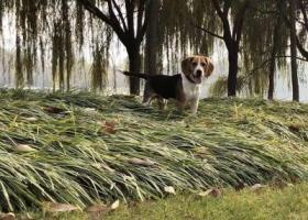 12月1日郑东新区熊儿河公园丢失比格狗狗