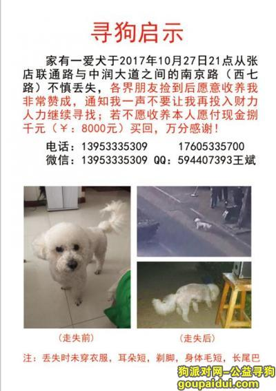 寻狗启示,山东淄博寻比熊狗一只,电话13054889335,它是一只非常可爱的宠物狗狗,希望它早日回家,不要变成流浪狗。