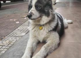 寻狗启示,狗狗叫大熊,在澧县万和源走丢,麻烦看到的好心人联系我!,它是一只非常可爱的宠物狗狗,希望它早日回家,不要变成流浪狗。