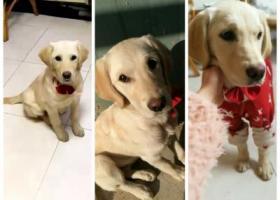 寻狗启示,六个月大的奶油色拉布拉多母犬丢失,它是一只非常可爱的宠物狗狗,希望它早日回家,不要变成流浪狗。