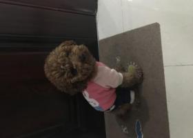 寻狗启示,2017年11月30日下午14:00捡到成年公泰迪一只,在前进花园后面的兴昌路,它是一只非常可爱的宠物狗狗,希望它早日回家,不要变成流浪狗。