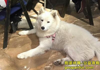 寻狗启示,2017年11月28号丢失成年母萨摩耶,它是一只非常可爱的宠物狗狗,希望它早日回家,不要变成流浪狗。