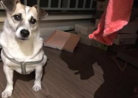 寻狗启示,捡到狗狗一只 为其找主人或有新家庭领养,它是一只非常可爱的宠物狗狗,希望它早日回家,不要变成流浪狗。