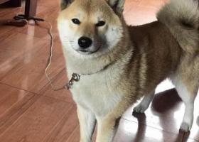 寻狗启示,寻找柴犬图图,赏金5000,它是一只非常可爱的宠物狗狗,希望它早日回家,不要变成流浪狗。