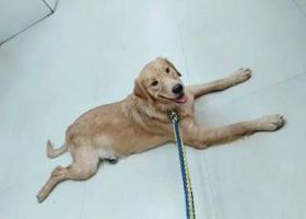 寻狗启示,寻找丢失金毛 让他回家吧,它是一只非常可爱的宠物狗狗,希望它早日回家,不要变成流浪狗。