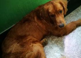 寻狗启示,咸阳市文林路12月2日丢失8月大金毛幼犬,它是一只非常可爱的宠物狗狗,希望它早日回家,不要变成流浪狗。