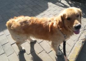寻狗启示,寻狗中捡到一只流浪金毛,它是一只非常可爱的宠物狗狗,希望它早日回家,不要变成流浪狗。