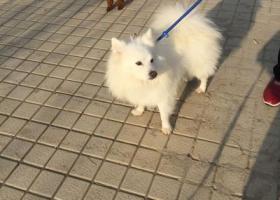 寻狗启示,12月初在马群西花岗一个长门口捡到一个白色狗狗,寻主人,它是一只非常可爱的宠物狗狗,希望它早日回家,不要变成流浪狗。