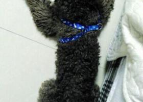 泰迪狗丢了 名叫臭臭 大哥哥大姐姐帮我找找 求求你们了
