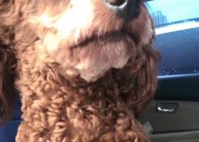 重金寻子:棕色泰迪小宝,体型中等,鼻子上有一缕白毛