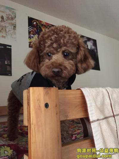 【成都找狗】,重金酬谢,寻4岁泰迪弟弟,它是一只非常可爱的宠物狗狗,希望它早日回家,不要变成流浪狗。