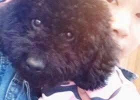 一只黑色泰迪被人抱走的 身上什么也没有 名字叫苏苏