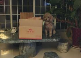 跪求帮忙找狗,养了四年的中型泰迪,重金酬谢