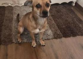 12月8日9点在北京姚家园路与黄杉木店路口遗失一只棕色混血小型犬