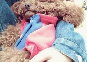 寻狗启示,10.30武侯区捡到一岁多泰迪弟弟,它是一只非常可爱的宠物狗狗,希望它早日回家,不要变成流浪狗。