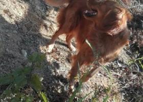寻狗启示,寻狗启示,潮州磷溪凤美村附近,它是一只非常可爱的宠物狗狗,希望它早日回家,不要变成流浪狗。