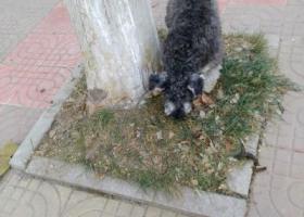 寻狗启示,雪纳瑞,名字,可乐3岁,黑灰色.电话18605361778,它是一只非常可爱的宠物狗狗,希望它早日回家,不要变成流浪狗。