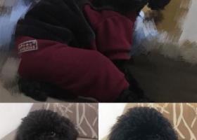 黑色泰迪狗狗名字叫小五