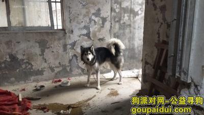 常州捡到狗,本人在20几天前捡到一只黑白色公狗成年阿拉斯加,它是一只非常可爱的宠物狗狗,希望它早日回家,不要变成流浪狗。
