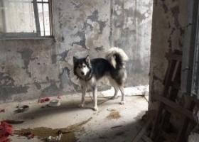 寻狗启示,本人在20几天前捡到一只黑白色公狗成年阿拉斯加,它是一只非常可爱的宠物狗狗,希望它早日回家,不要变成流浪狗。