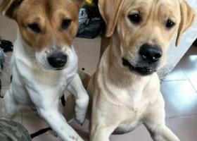 寻找爱犬拉布拉多犬黄色公狗。