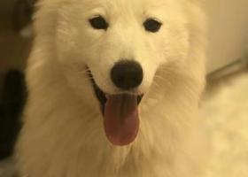 寻狗启示,请大家帮我留意我的狗狗她是一只白色的萨摩耶两千元酬谢,它是一只非常可爱的宠物狗狗,希望它早日回家,不要变成流浪狗。