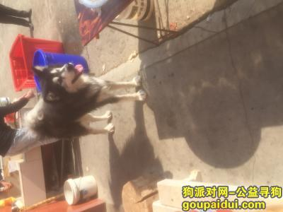 三明找狗主人,狗狗走失好多天,希望狗狗主人能看到领回家,它是一只非常可爱的宠物狗狗,希望它早日回家,不要变成流浪狗。
