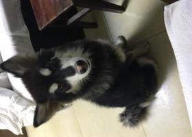 寻狗启示,寻找爱狗 提米 重金求谢,它是一只非常可爱的宠物狗狗,希望它早日回家,不要变成流浪狗。