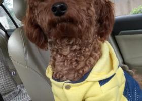 寻狗启示,黄色加牛仔外衣泰迪犬,它是一只非常可爱的宠物狗狗,希望它早日回家,不要变成流浪狗。