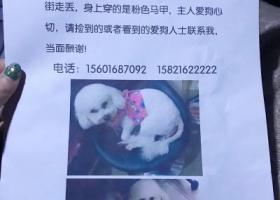 上海松江12月7日在庙前街晚上8点白色比熊被人牵走