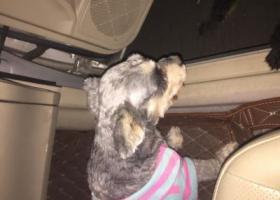 寻狗启示,东莞塘厦捡到雪纳瑞狗狗,它是一只非常可爱的宠物狗狗,希望它早日回家,不要变成流浪狗。
