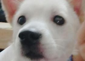 寻狗启示,12月9日晚十点左右在集美北区叶厝附近丢失一只白色土狗,背上是黄色毛,它是一只非常可爱的宠物狗狗,希望它早日回家,不要变成流浪狗。