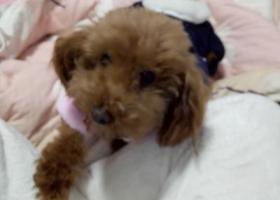 寻狗启示,抱走她的人求你还给我吧,它是一只非常可爱的宠物狗狗,希望它早日回家,不要变成流浪狗。