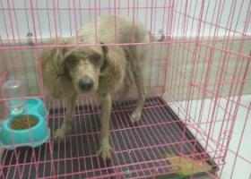 寻狗启示,横栏镇三沙 寻贵宾狗 重谢!,它是一只非常可爱的宠物狗狗,希望它早日回家,不要变成流浪狗。