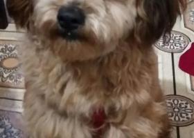 寻狗启示,捡到一只成年雄性泰迪狗,它是一只非常可爱的宠物狗狗,希望它早日回家,不要变成流浪狗。