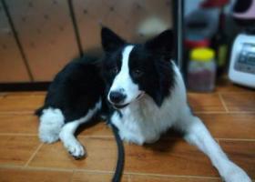 寻狗启示,寻找爱狗边牧小黑在温州苍南走丢,它是一只非常可爱的宠物狗狗,希望它早日回家,不要变成流浪狗。