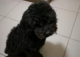 寻狗启示,北京真武庙附近捡到一只黑色贵宾,它是一只非常可爱的宠物狗狗,希望它早日回家,不要变成流浪狗。