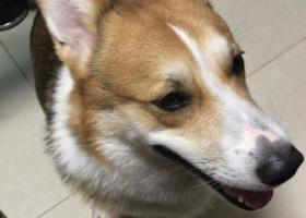 寻狗启示,寻狗启示寻找一只柯基一岁多黄色脖子上有一圈白毛于2017年12月7日于芗城区信合大厦门口农商银行走失,它是一只非常可爱的宠物狗狗,希望它早日回家,不要变成流浪狗。