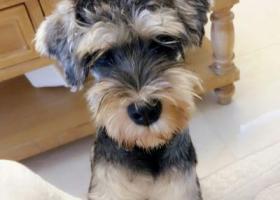 寻狗启示,泸州 步步高 走丢 雪纳瑞狗,它是一只非常可爱的宠物狗狗,希望它早日回家,不要变成流浪狗。