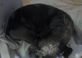 寻狗启示,2017.12.18号在夏庄史家泊子捡到一只雪纳瑞,它是一只非常可爱的宠物狗狗,希望它早日回家,不要变成流浪狗。