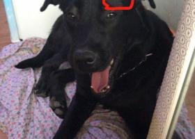 寻狗启示,许昌市仓库祥佑小区酬谢2000元寻找黑色拉布拉多,它是一只非常可爱的宠物狗狗,希望它早日回家,不要变成流浪狗。